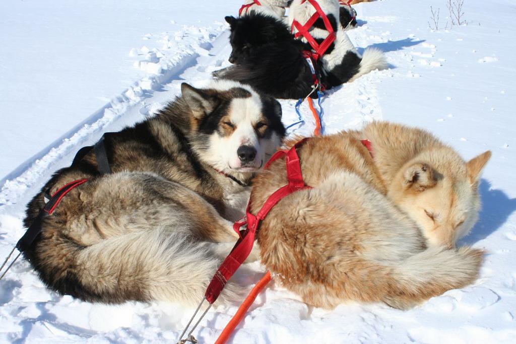 Путешествие на собачьих упряжках к Путоранским горам